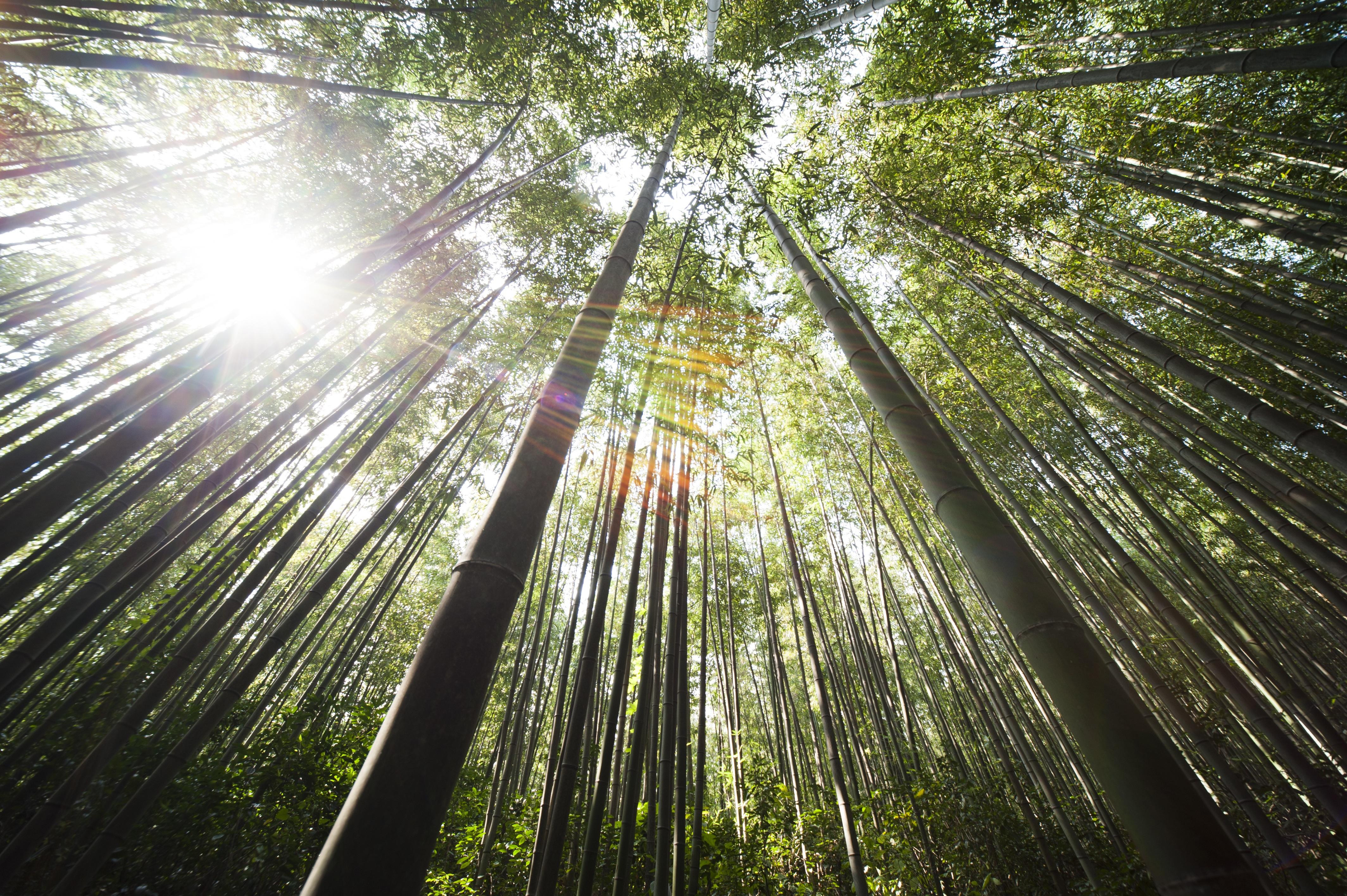lever-de-soleil-forêt-de-bambou
